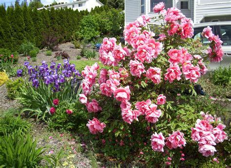 khs plant library paeonia suffruticosa tree peony radiant