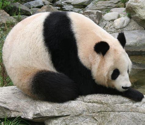 images of panda bears file panda at vienna zoo cropped jpg