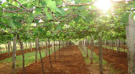 menanam anggur merah  berbuah  cepat