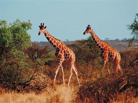 imagenes que se mueven de jirafas gt wallpaper fond d ecran girafe