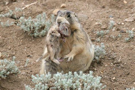 prairie dogs prairie dogs are serial killers savaging ground squirrels new scientist