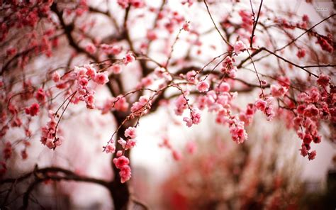 Blossom Free enjoy the collection of beautiful wallpapers cherry blossoms
