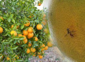 tepat membasmi hama lalat buah jeruk  racun