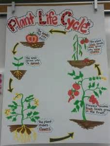 plant life cycle anchor chart tomato plant teaching