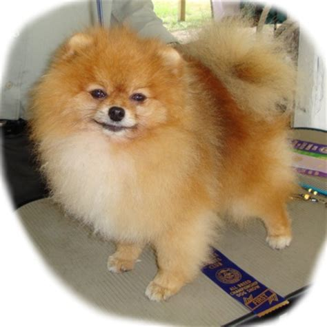 pomeranian puppies ontario pomeranian puppies for sale in ontario canada classypoms
