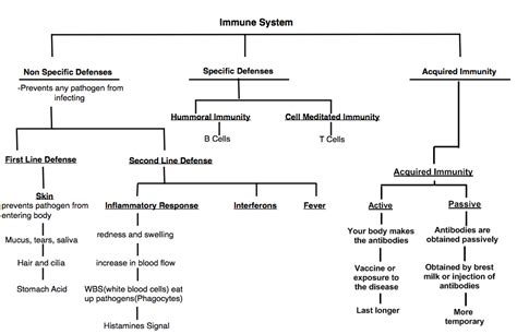 immune system flowchart 7 best images of the cells of immune response flow chart