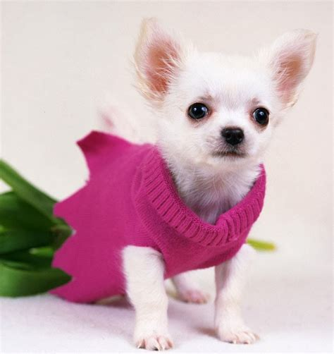 yorkie diarrhea with mucus micro pocket teacup chihuahua for sale in houston autos post