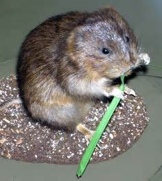file water vole arp jpg wikipedia