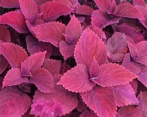 Daun Ungu Variegata 20 40cm tanaman iler 2 jual tanaman hias