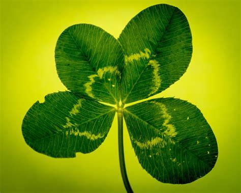 wallpaper daun semanggi gambar alam menanam daun bunga hijau simbol botani