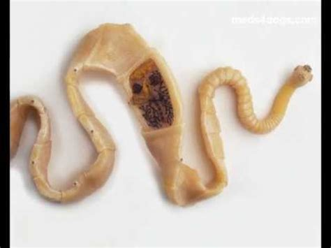 tapeworm in dogs tapeworms in dogs