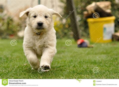 golden retriever puppies running golden retriever puppy run from front view royalty free stock photography image