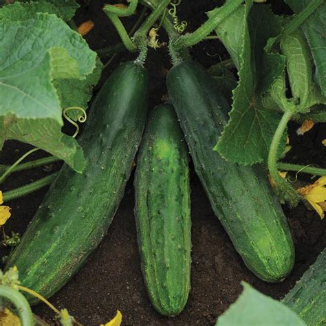 cucumber patio snacker f1 seeds from mr fothergill s seeds