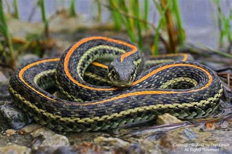 Garden Snake With Yellow Stripe 11 Best Images About So I Want A Snake On I