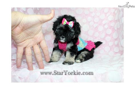 yorkie poo los angeles local small breed dogs for sale or adoption breeds picture