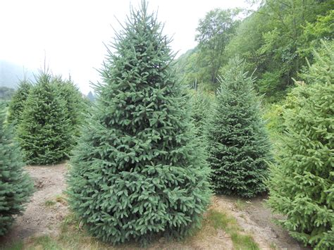 black hill spruce black hills spruce we have 6 in the