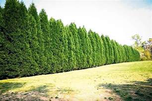 best trees leyland cypress trees for sale the tree center