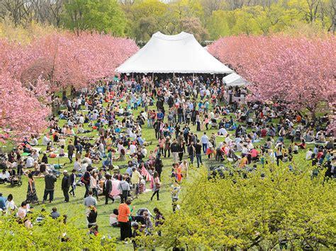 Sakura Matsuri Cherry Blossom Festival Nyc Guide Botanical Garden Cherry Blossom Festival