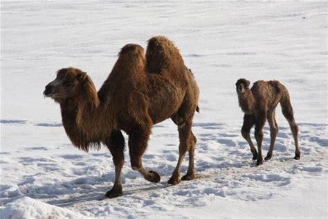 fotos reyes magos en camellos camellos el rastreador de noticias