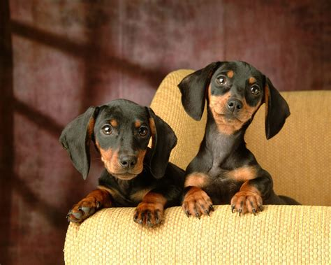 free dachshund puppies in free mini dachshund puppies 10 widescreen wallpaper dogbreedswallpapers