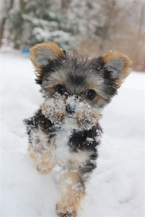 how to make yorkie hair silky 17 best images about cutest yorkies on puppys haircuts and yorkie