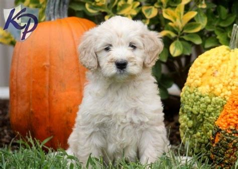 mini goldendoodles rescue in ohio 10 images about i want one on adoption