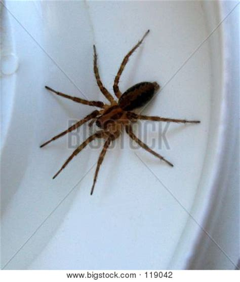 brown house spider brown house spider stock photo stock images bigstock