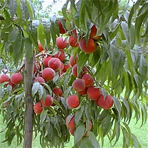 piante da frutto in vaso prezzi 10 alberi da frutto da coltivare nell orto in giardino o