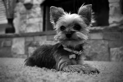 hair accessories for yorkie poos 105 best images about yorkie in black and white on pinterest
