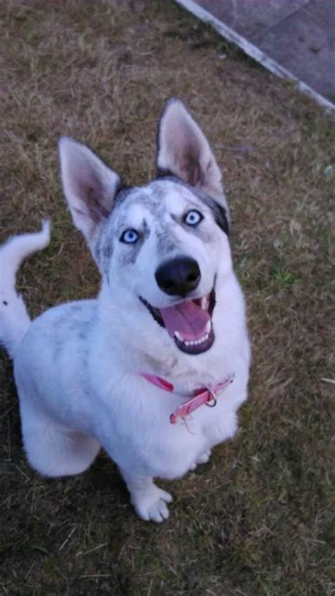 northern inuit for sale northern inuit puppy manchester greater manchester pets4homes