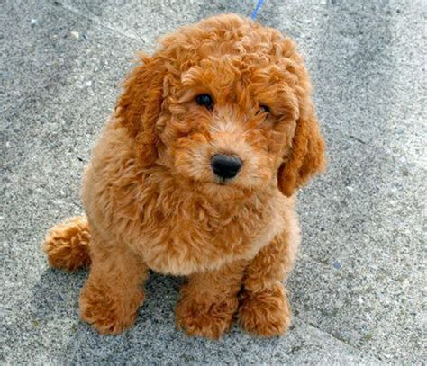 an overview of the labradoodle clancy aussie doodles