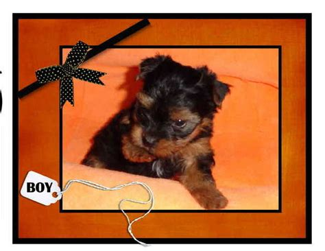 yorkie puppies cincinnati yorkie puppies for sale adoption from cincinnati ohio adpost classifieds gt usa