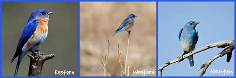 attracting bluebirds to your backyard attract bluebirds to your yard some simple tips to help