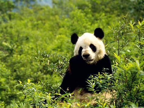 www panda bamboo wallpaper bamboo wallpapers 10 20 panda in bamboo