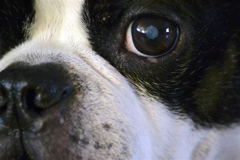 puppy cataracts animal house keeping an eye on cataracts wglt