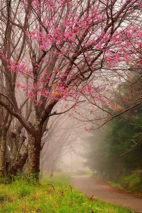 cherry trees b b shere 221 best images about dogwood on trees virginia and pastel paintings