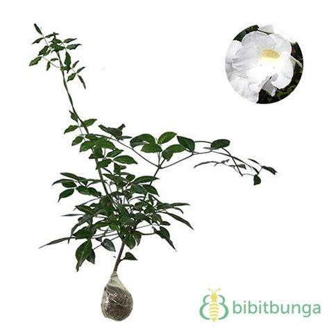 Tanaman Hias Violces And White tanaman white bower vine bibitbunga
