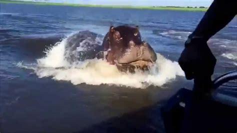 youtube video of hippo chasing boat hippopotame en colere youtube