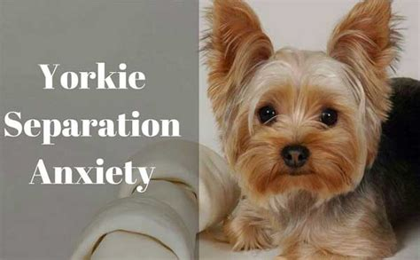 yorkies symptoms yorkie separation anxiety ultimate guide yorkiemag