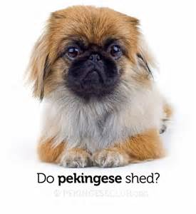 do pekingese shed pekingese club
