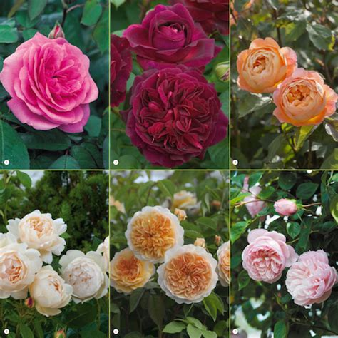 which are the most fragrant roses on earth read our guide