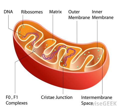 mitochondrion diagram what are some mitochondrial theories of aging with picture
