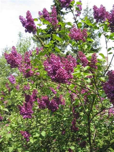 tips for caring for lilacs cutting back lilac bushes