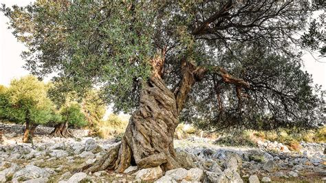 the company of trees a year in a lifetimeâ s quest books spain s 1 000 year olive trees are sold to rich