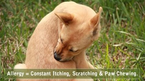 chewing paws remedy allergies paw chewing search engine at search
