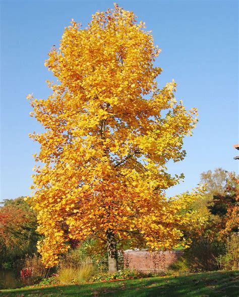 Tree L by Liriodendron Tulipifera L Tulip Tree Pflanzen Null