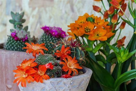 foto piante grasse fiorite piante grasse da appartamento fotogallery