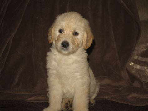 how much are labradoodle puppies goldendoodle cross labradoodle puppies ipswich suffolk pets4homes