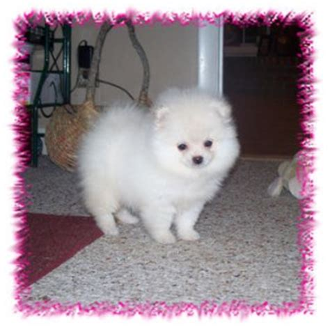 pomeranian for sale in portland oregon pets oregon free classified ads