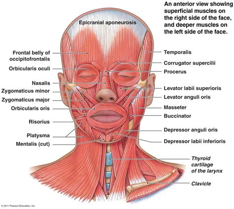 anatomy diagram anatomy muscles human anatomy diagram